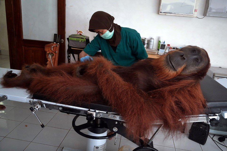 INDONESIA-ENVIRONMENT-CONSERVATION-SPECIES-ORANGUTAN