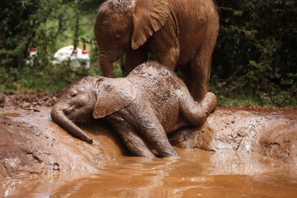 94. An orphaned baby elephant relaxes in a mud pool at the David Sheldrick Elephant Orphanage in Nairobi National Park - October 15, 2014.