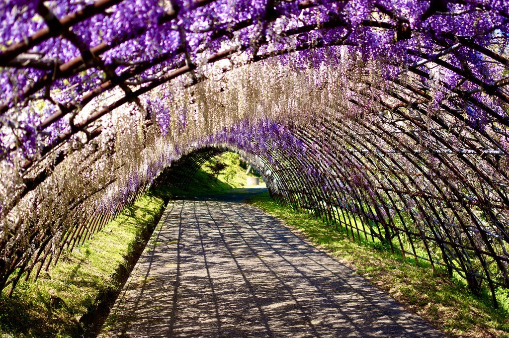 9 magical tree tunnels you would surely want to walk through Wisteria flower tunnel path in japan