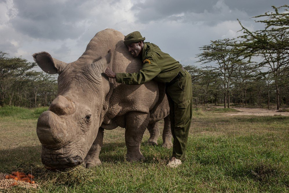 Mohammed Doyo, head caretaker, caresses Sudan, the last male northern white rhino left on the planet. Sudan lives alone in a 10-acre enclosure with 24-hour guards.