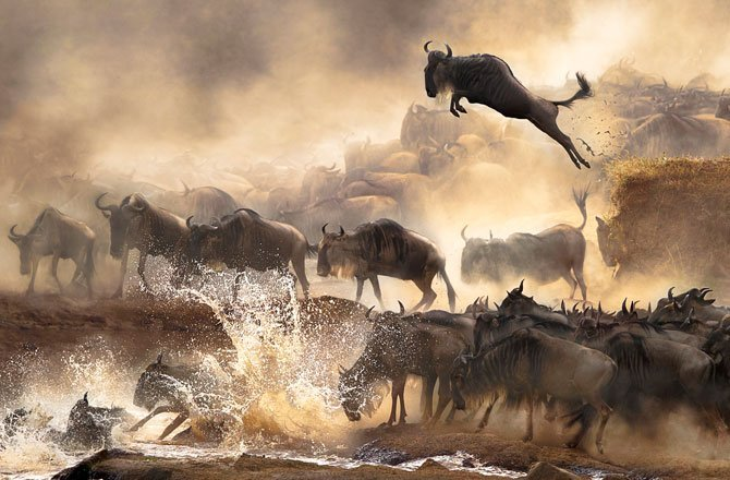 25.In July each year, this heart-pounding scene of wildebeests migration repeats itself in Kenya. (Bonnie Cheung/Sony World Photography Awards)