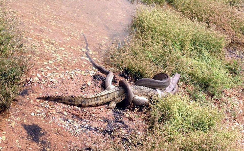 26. An anaconda clutching a crocodile at Queensland's Lake Moondarra, Australia - March 3, 2014.
