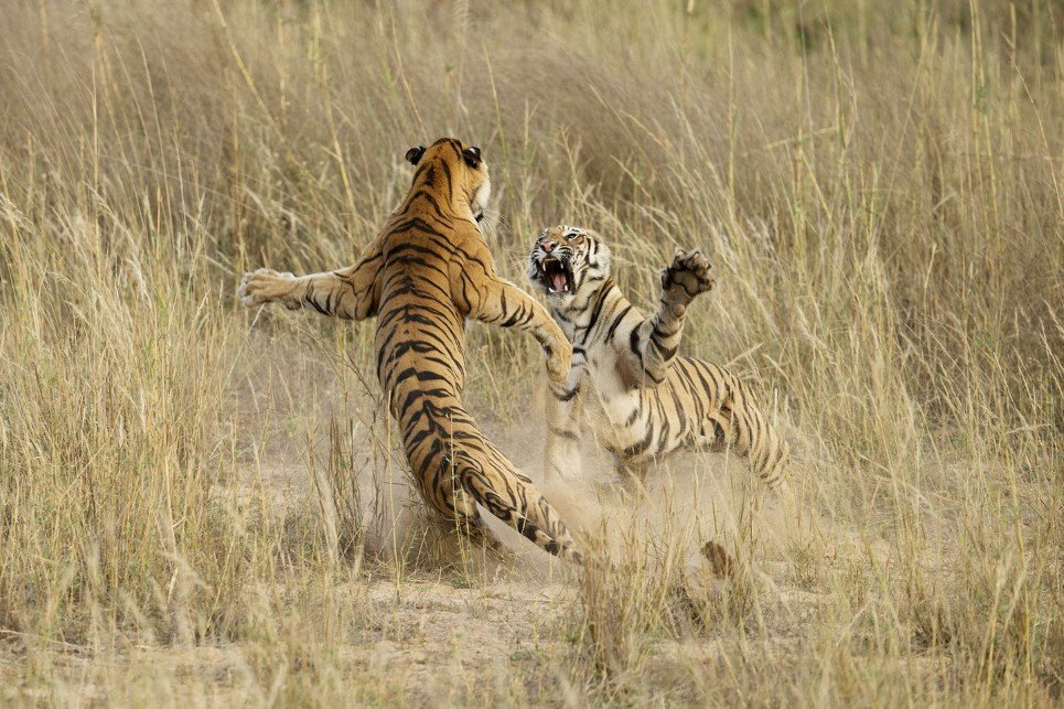 This playful fight amongst two young sub adult Tigers was indeed a brilliant life time opportunity that lasted exactly 4-5 seconds. The cubs were sitting in the grass as dusk approached when suddenly one of them sneaked up behind the other and what happened next is captured in this image.