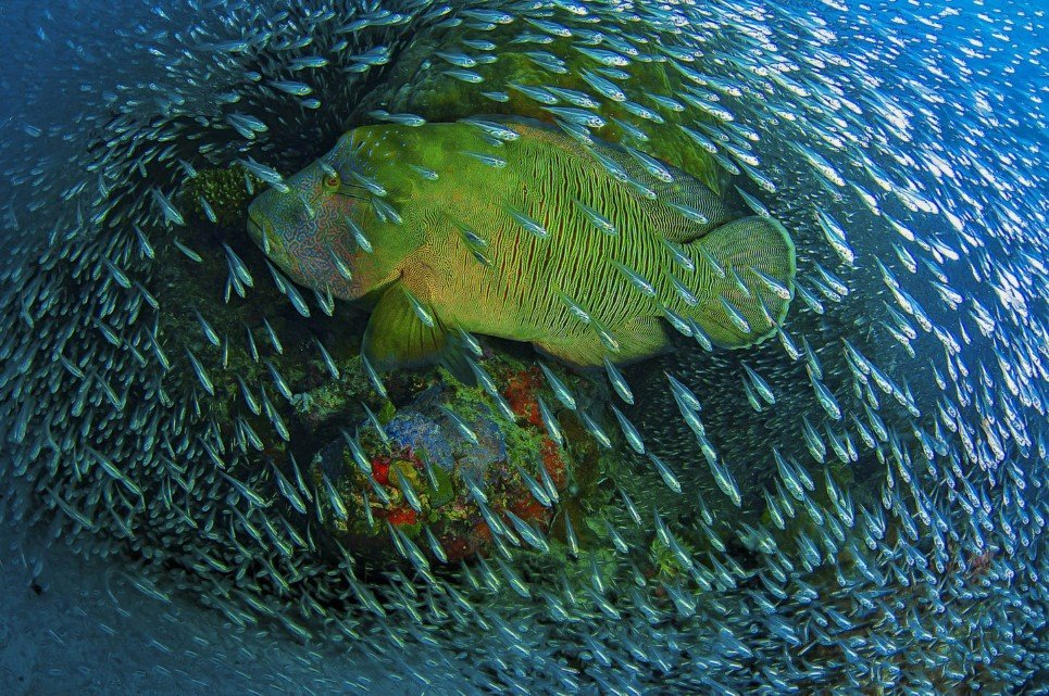 On a windy day right after a cyclone passed the far northern Great Barrier Reef, I took some friends out to the reef. Never before I saw that many glass fish on this particular coral 'bommie'. Just when I setup my camera, this Napoleon Wrasse swam right through the school of fish building a living frame.