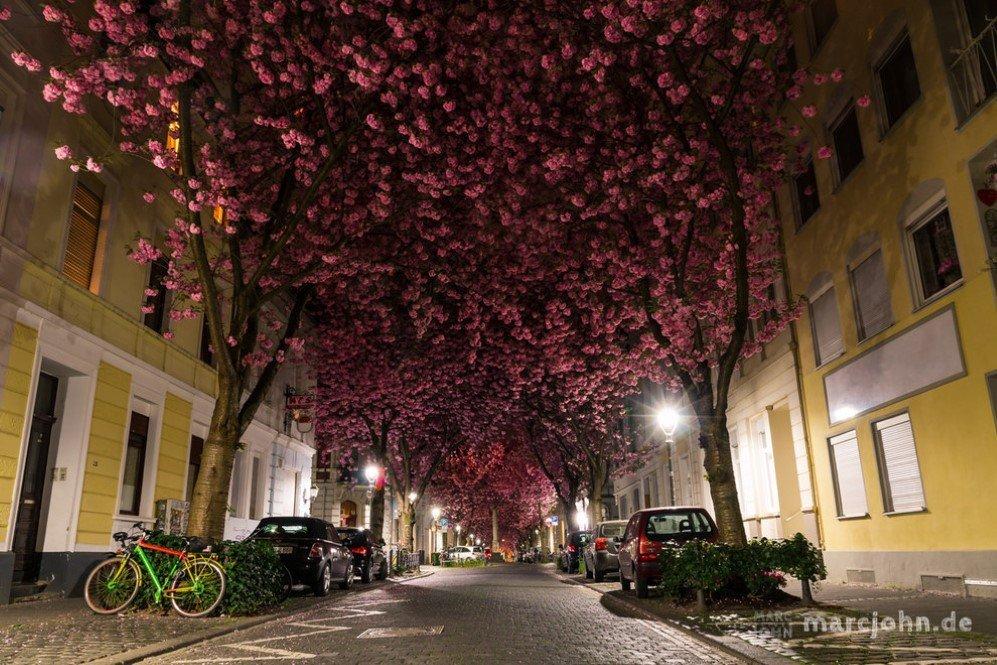 Cherry Blossom Avenue