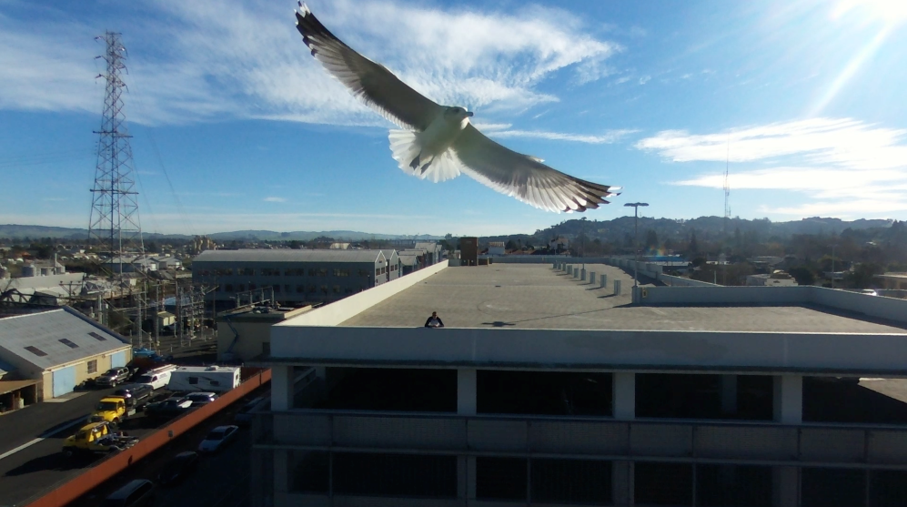 seagull that tried to kill my drone.