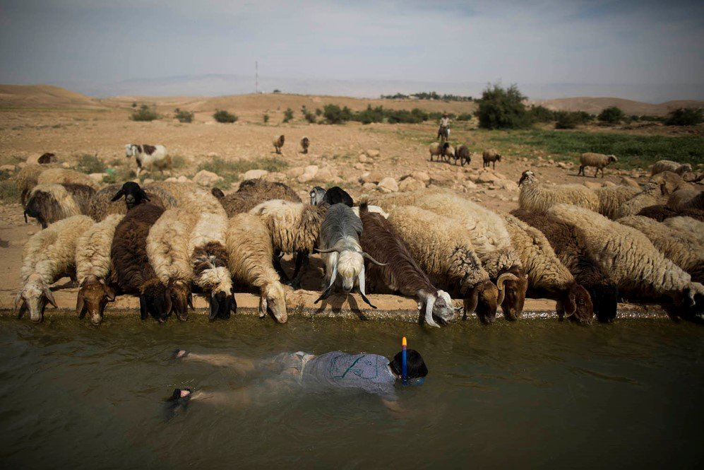 A young Israeli snorkels as sheep belonging to a Palestinian shepherd drink water from the spring located at Jordan Valley near the West Bank town of Jericho – April. 8, 2015.