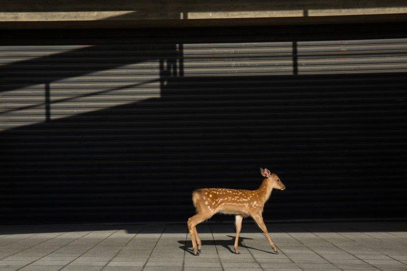 Deer in Japan