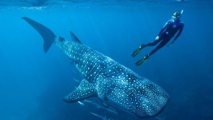 Carbon residues now being used to estimate the timeline of whale sharks